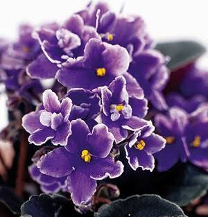 menekşe yağı deodorant kendin yap violet essential oil