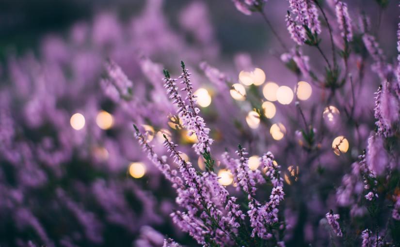 Aromaterapi: Lavanta Yağı Faydaları veKullanımı
